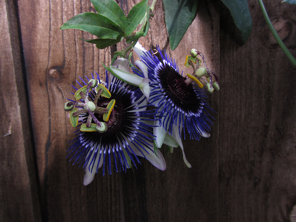 Registrar Passiflora Damsel's Delight
