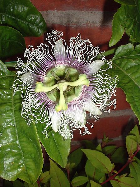 Passiflora edulis flower