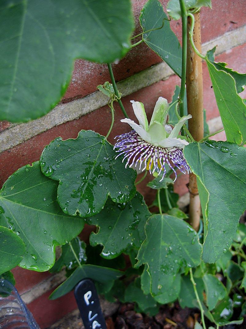Passiflora elegans
