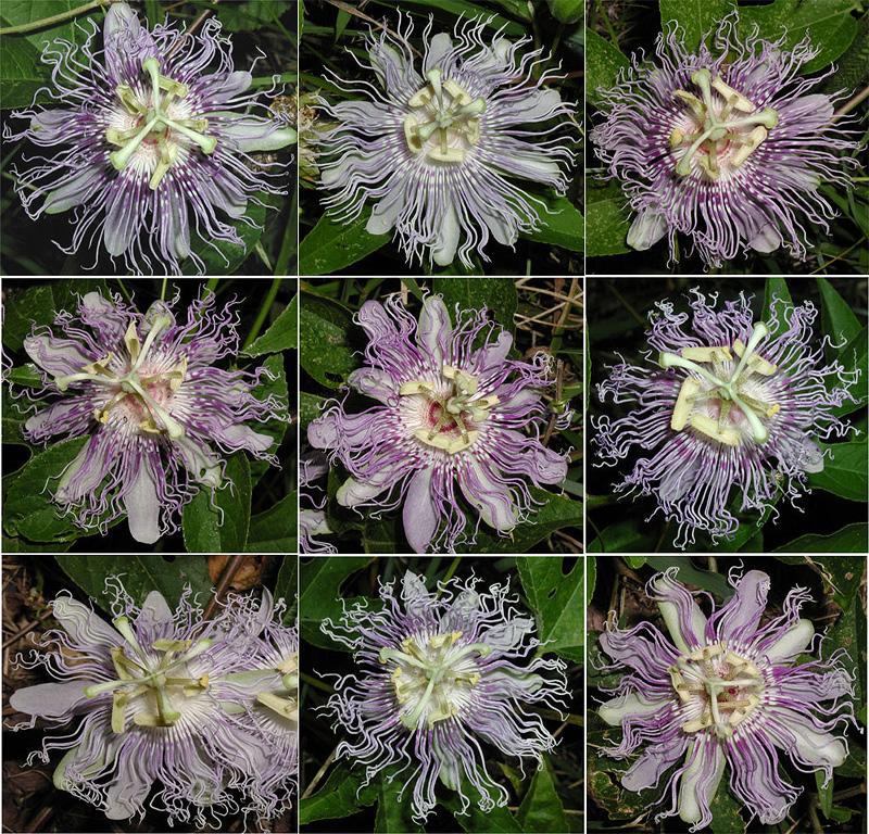 Passiflora incarnata maypops