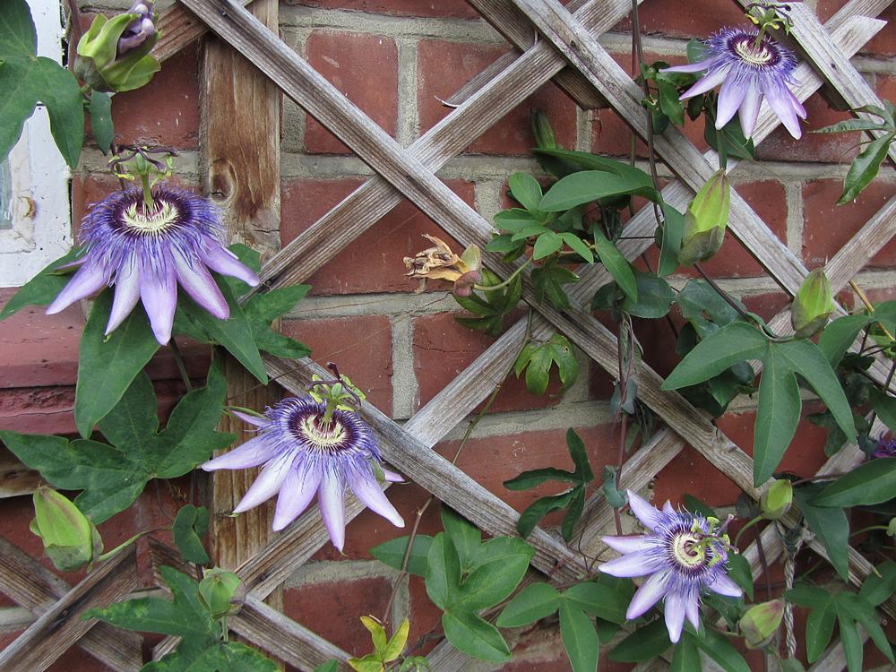 Passiflora 'Justine Lyons' flowers