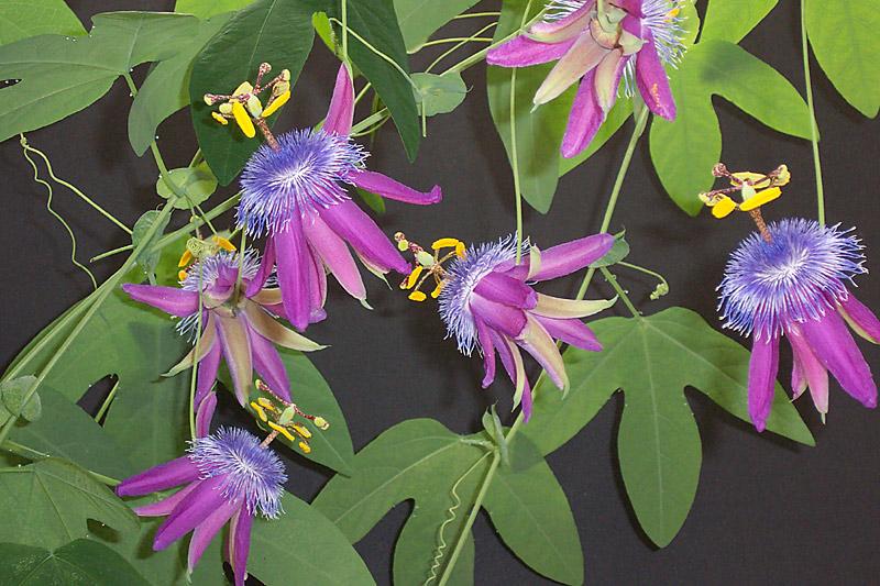 Passiflora loefgrenii 'Corupa' © Les King