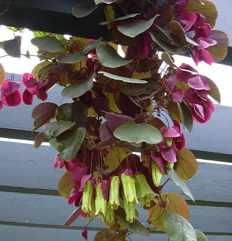 Passiflora membranacea 4 © Kelly MacDonald