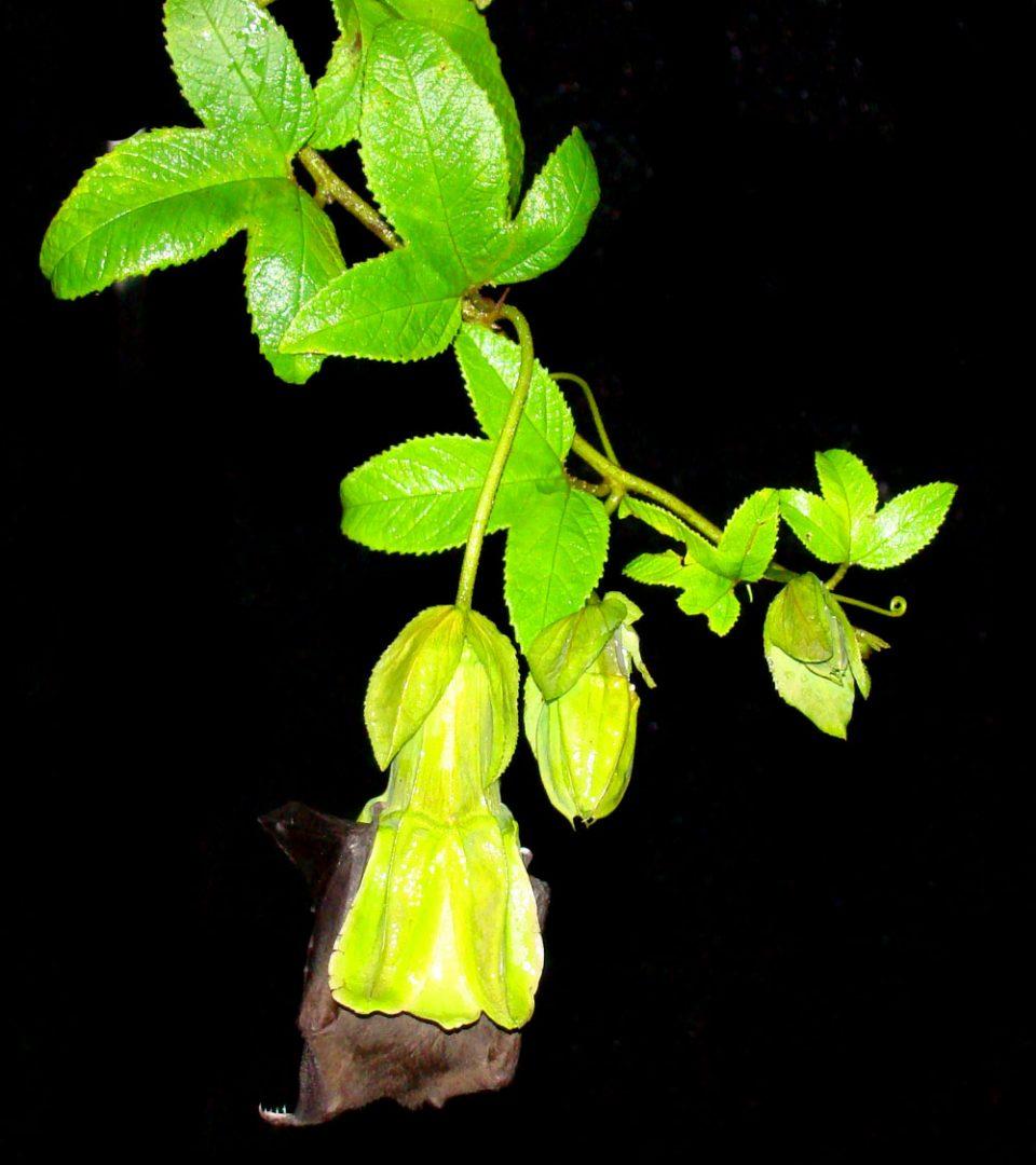 Passiflora unipetala Anoura fistulata © Nathan Muchhala