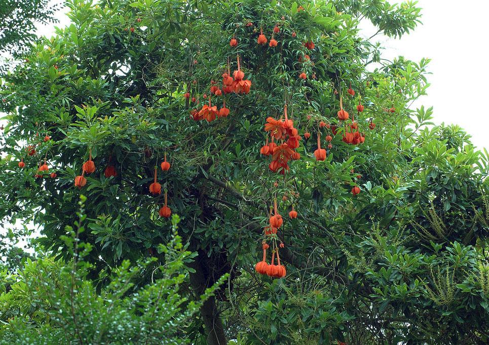 Passiflora parritae © 2005 Eric Hunt.