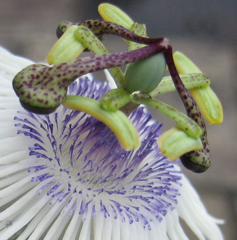 Passiflora 'Poppet' macro