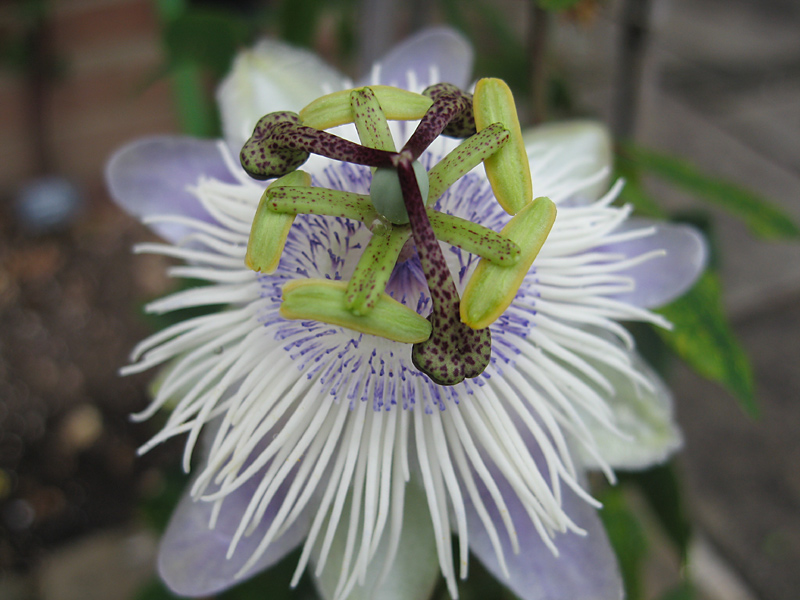 Passiflora 'Poppet' above