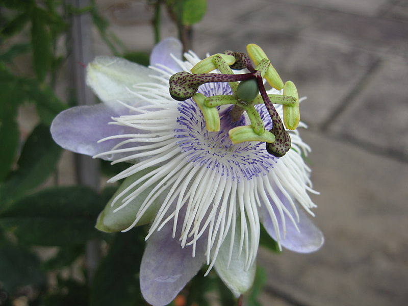 Passiflora Poppet