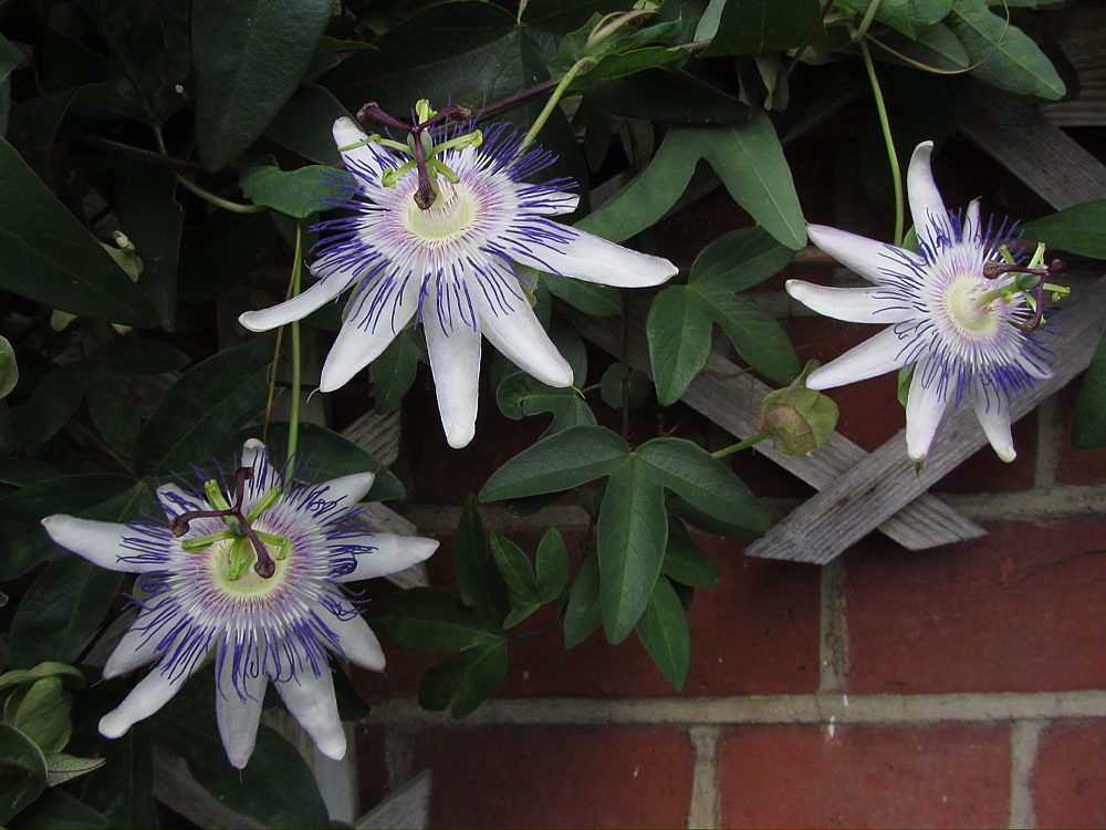 Passiflora Star of Surbiton flowers