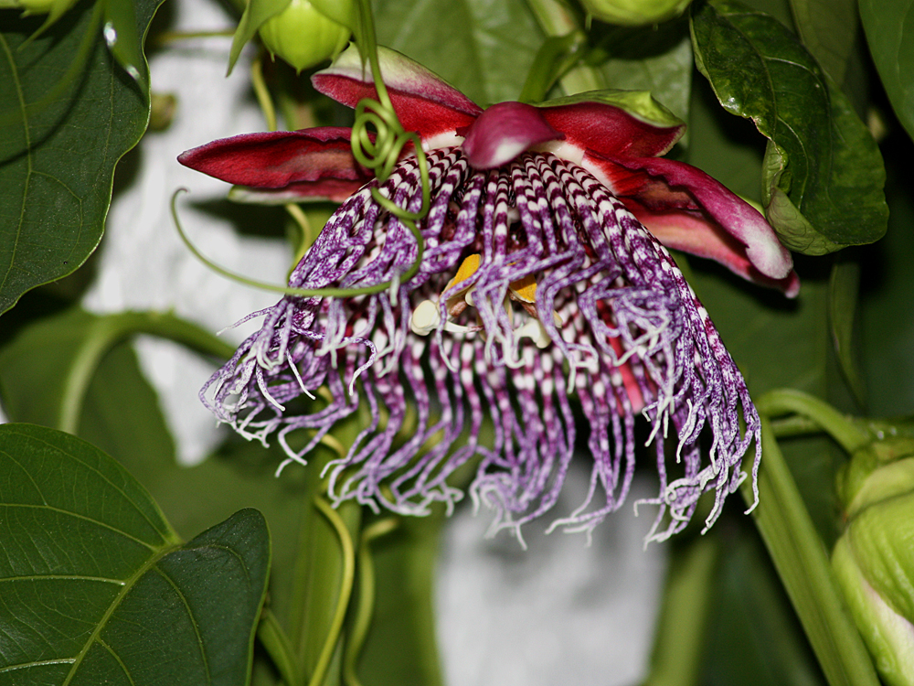 Passiflora x decaisneana flower