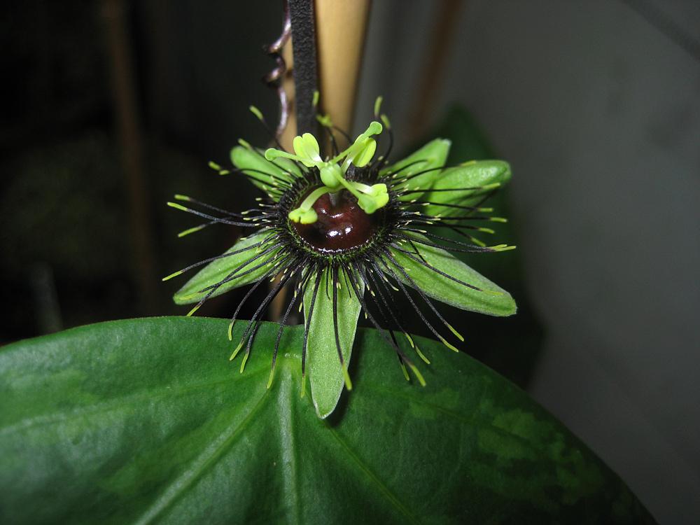 Passiflora xiikzodz