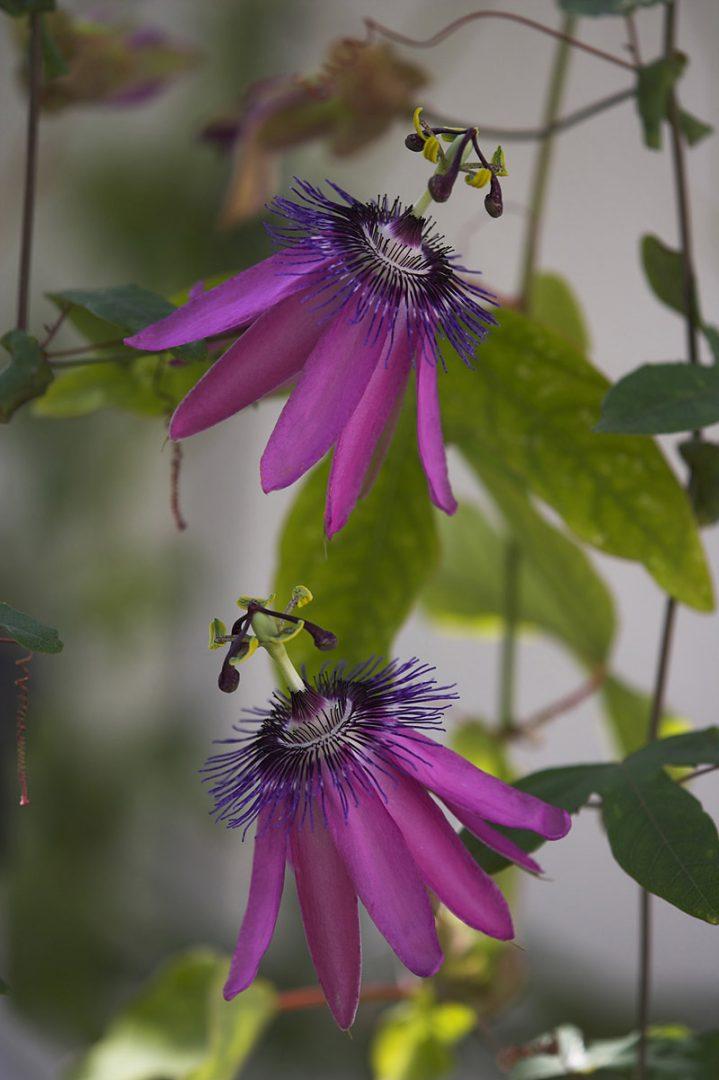 Passiflora 'Amethyst' flowers