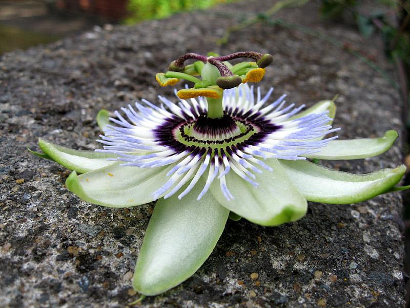 Passiflora Emil Kugler