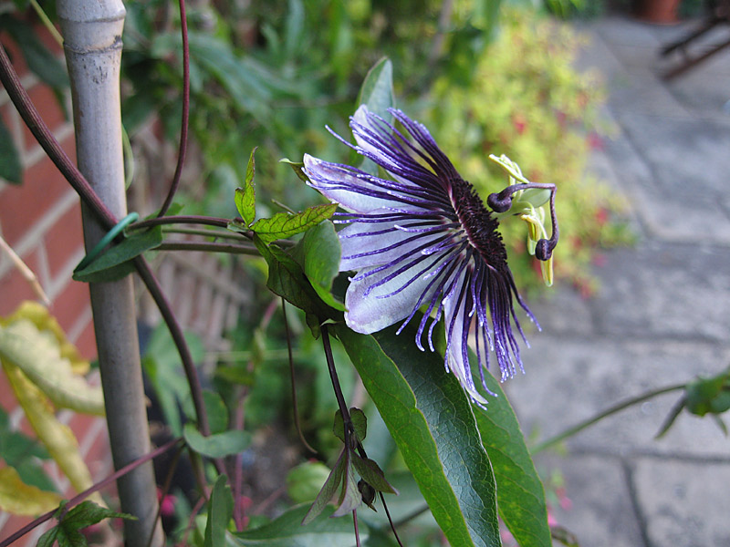 Passiflora Violetta