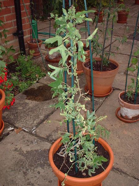 Passiflora x violacea 'Eynesford Gem' growth habit