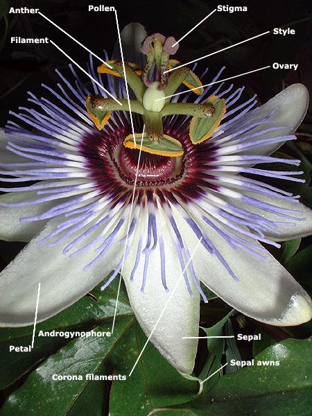 Passiflora flower diagram