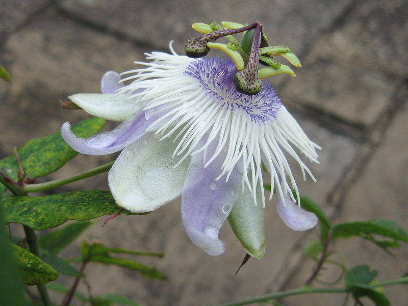 Passiflora 'Poppet' side