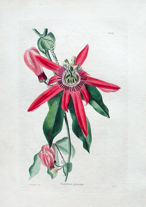Passiflora racemosa print