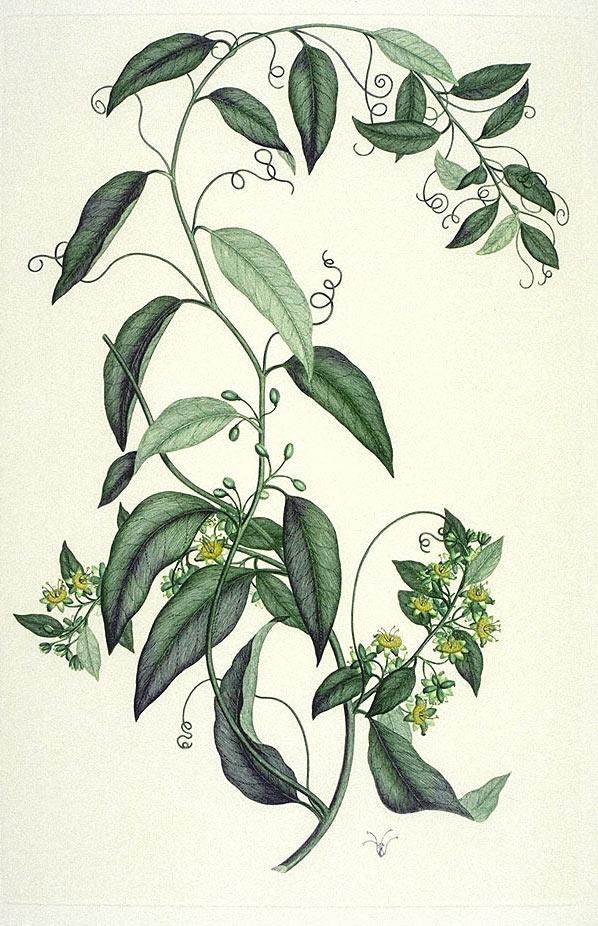Passiflora tetrandra print