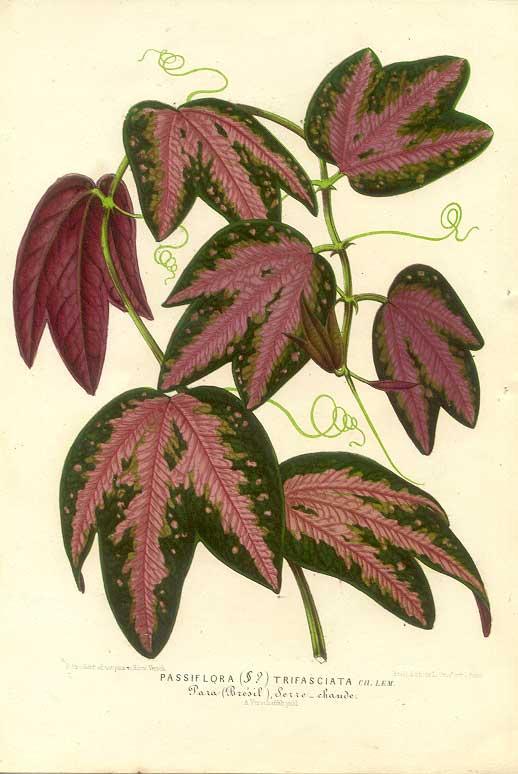 Passiflora trifasciata print