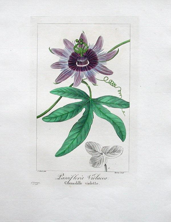 Passiflora x violacea 2