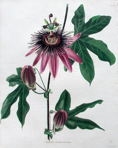 Passiflora x violacea 1