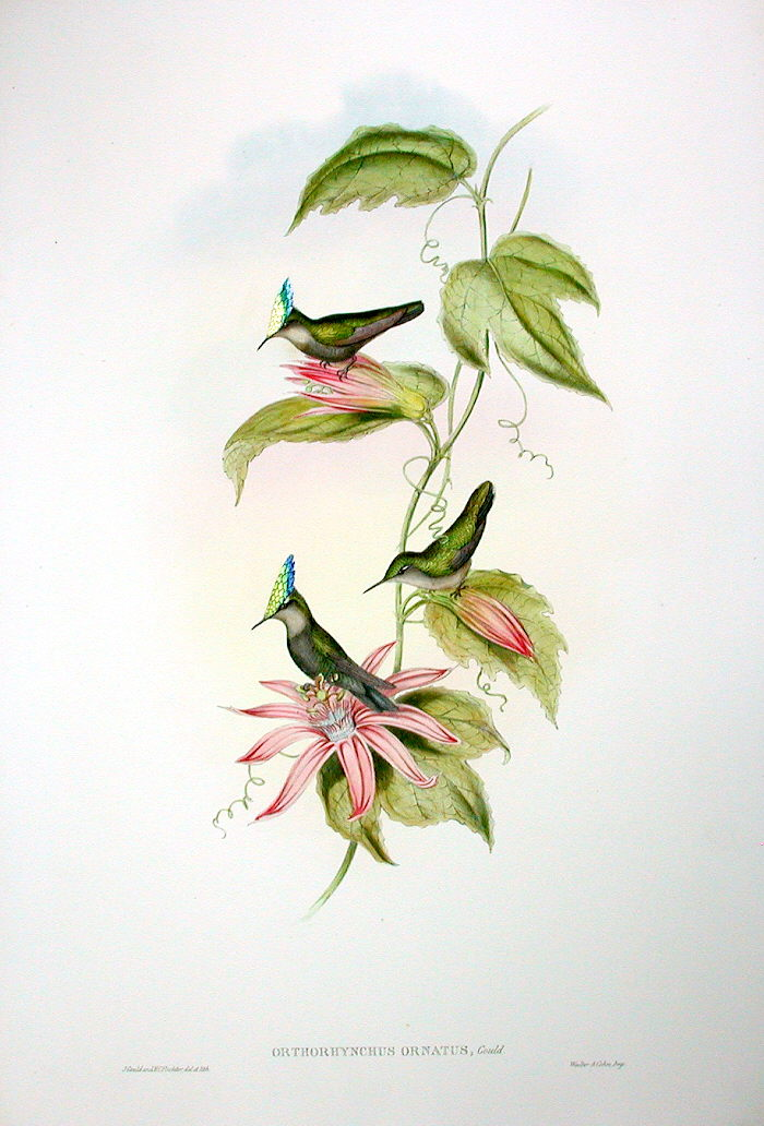 Passiflora vitifolia prints