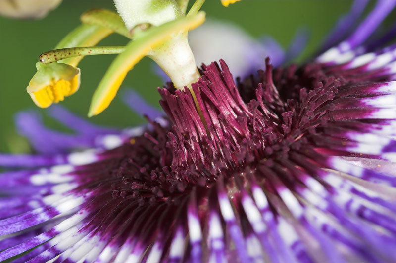 Passiflora 'Purple Haze' © 2005 Paul R.A. West