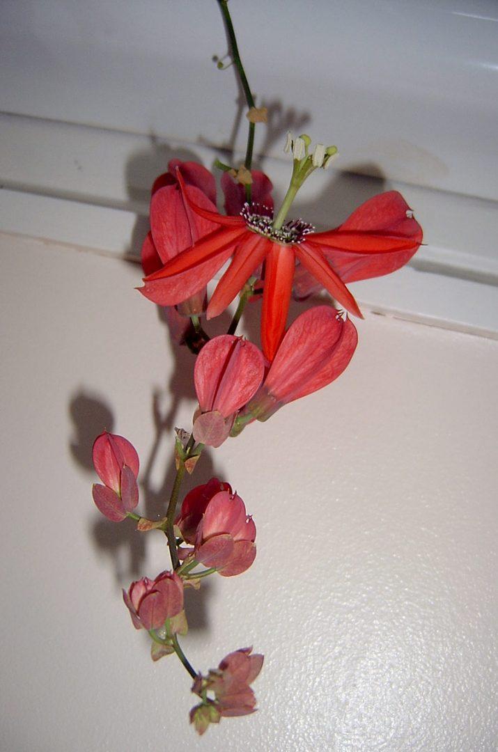 Passiflora racemosa Clone 1 © Owen Davies