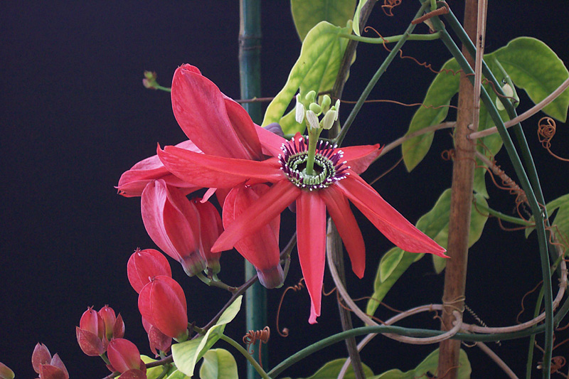 Passiflora racemosa Clone 2 © Les King