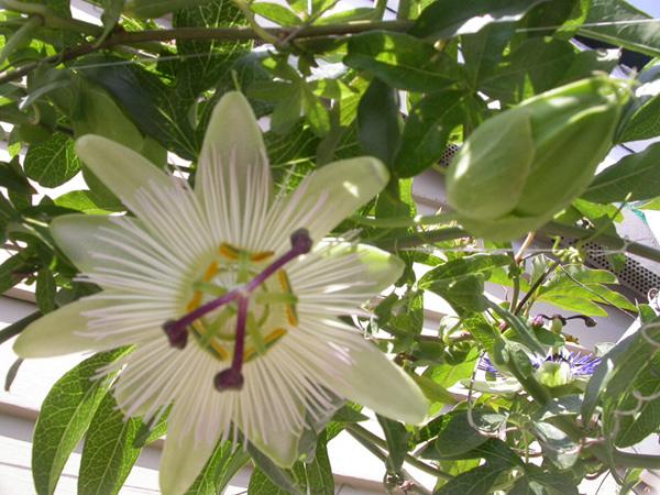 Passiflora caerulea sport