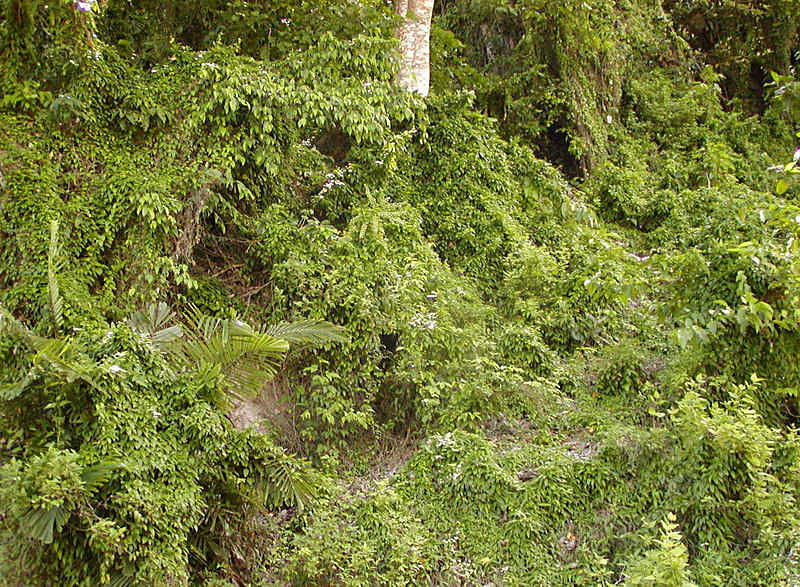 Passiflora suberosa soil
