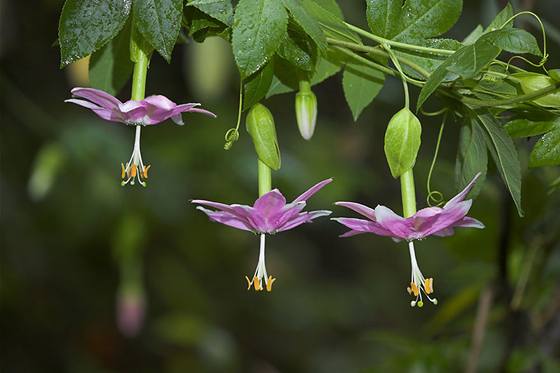 Passiflora traminiana