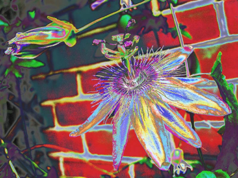 Poisonous Passion flower psychedelic legal highs