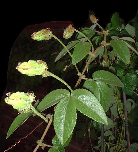 Passiflora trisecta foliage