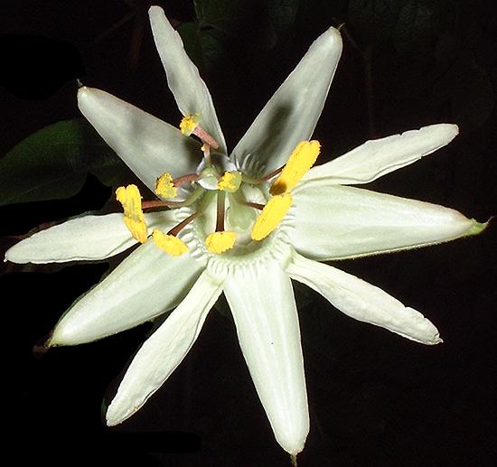 Passiflora trisecta top