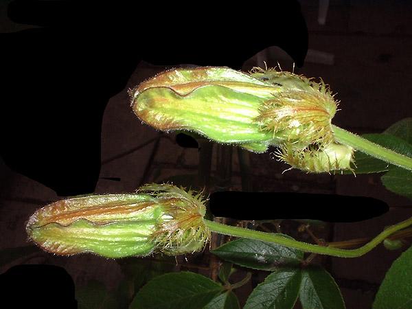 Passiflora trisecta upright buds