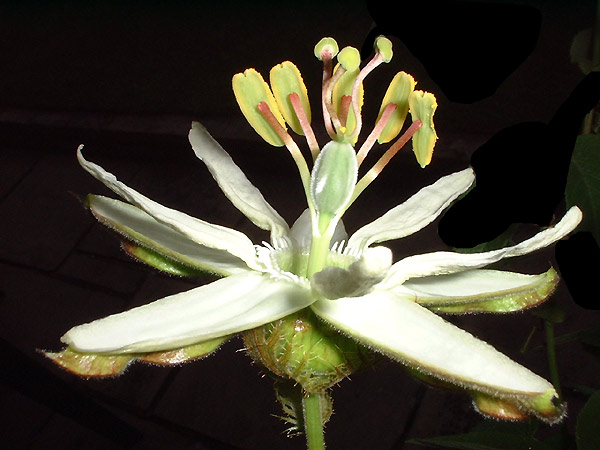 Passiflora trisecta side view
