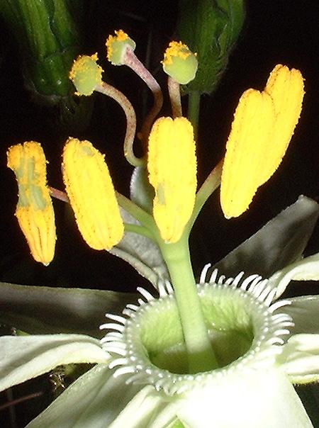 Passiflora trisecta close up