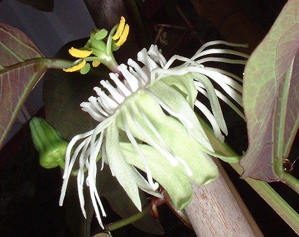 Passiflora trifasciata side