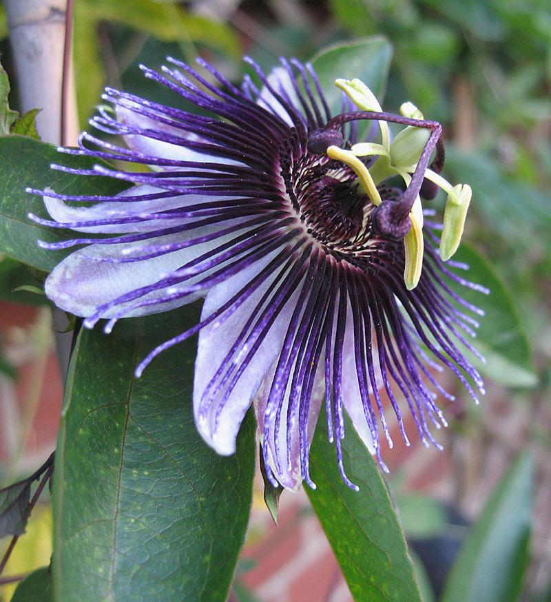 Passiflora Violetta close