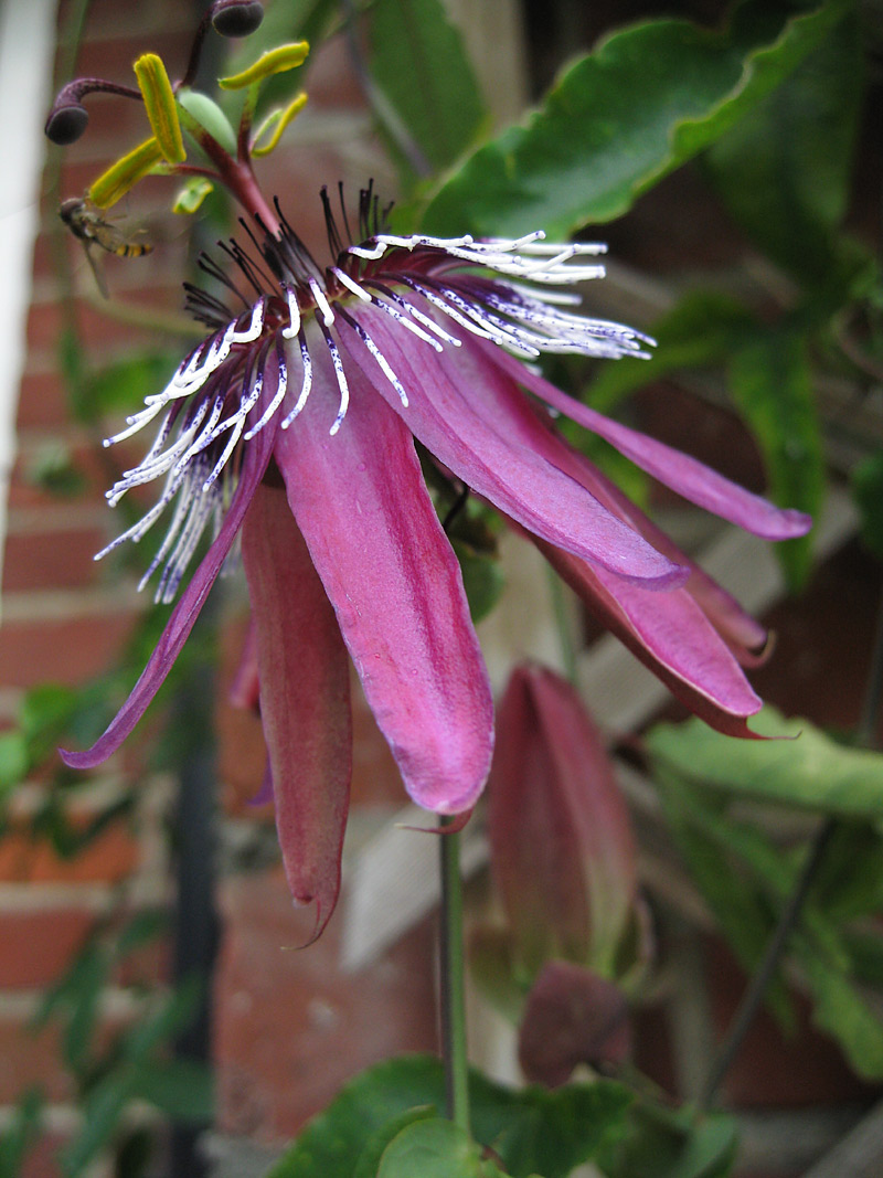 Passiflora x violacea side view