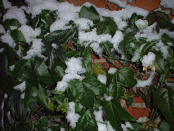 Growing tips for Passion flowers ice covered foliage