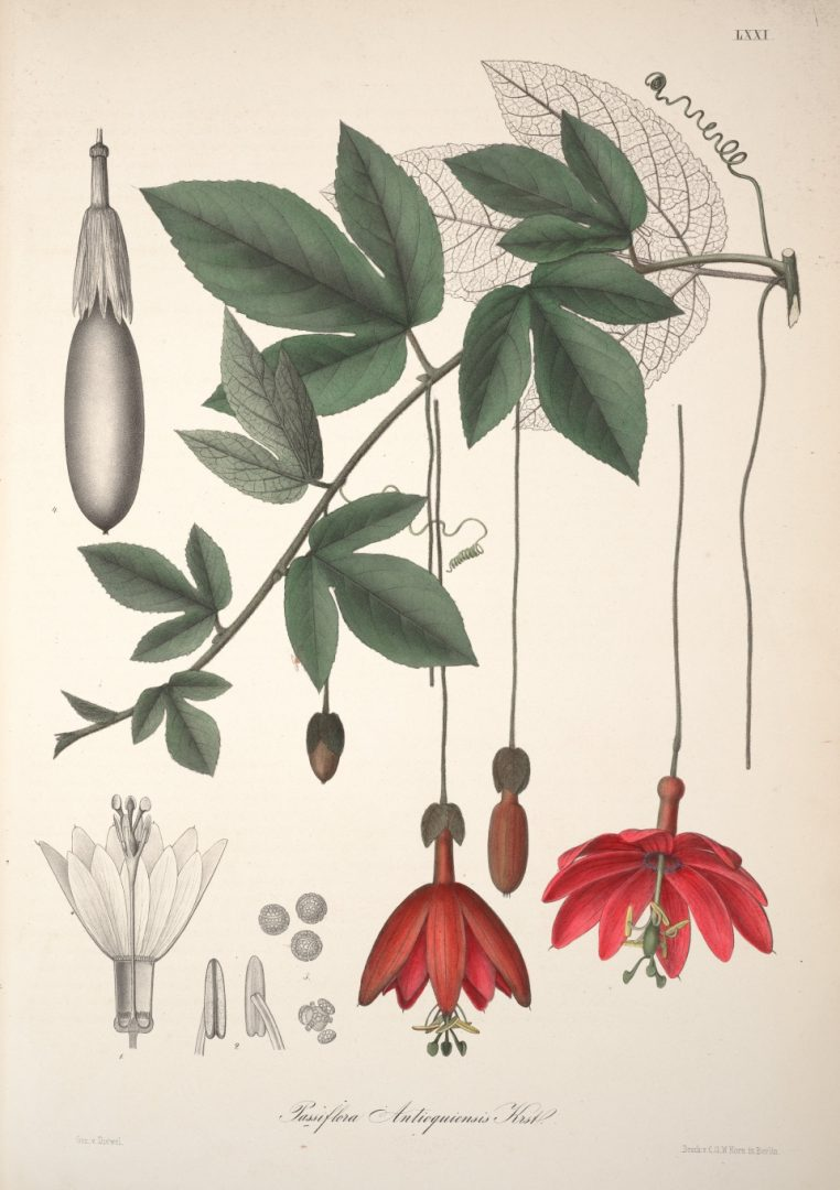 Passiflora antioquiensis antique print