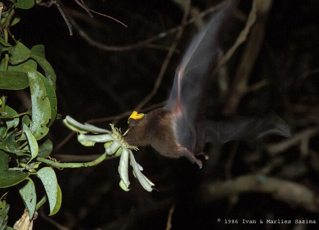 Anoura caudifer P. mucronata