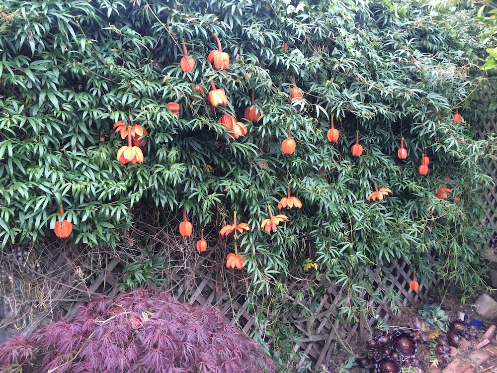 Passiflora parritae © Gary Uhouse 1