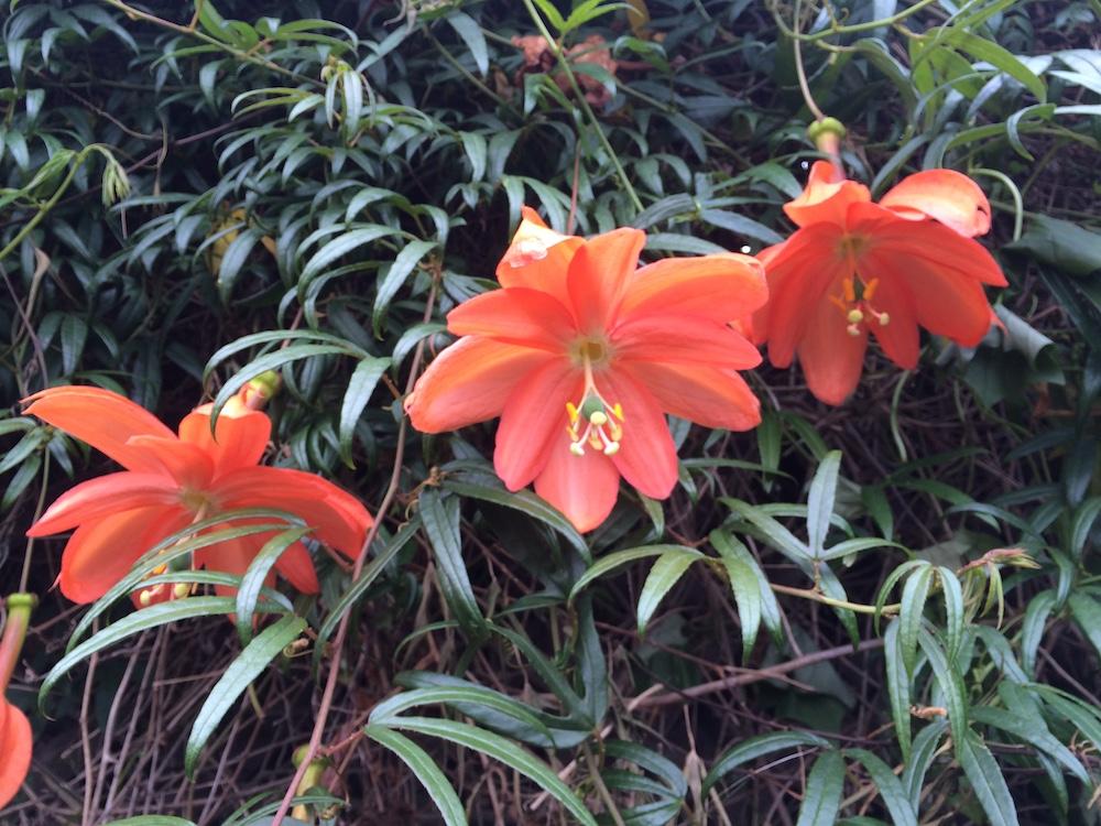 Passiflora parritae © Gary Uhouse 2