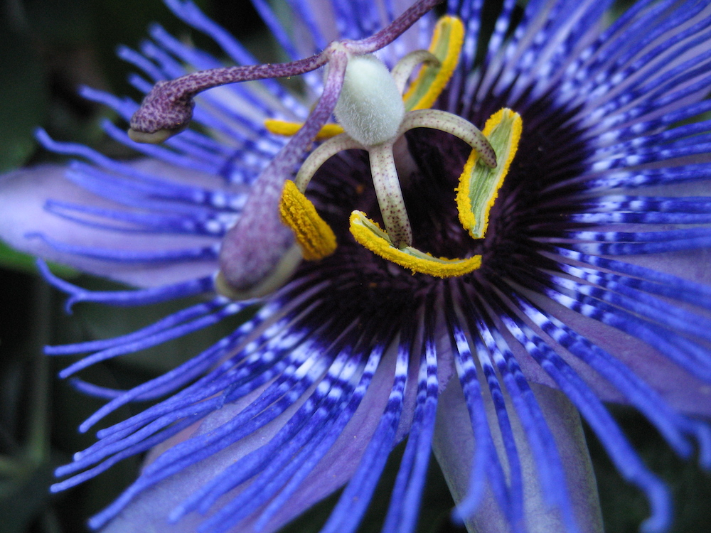 Passiflora 'Purple Haze' close up