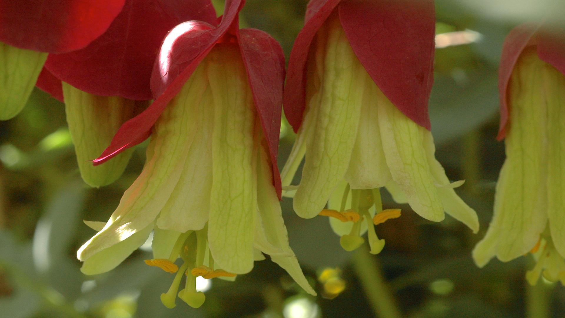 Passiflora membranacea © Eric Hunt