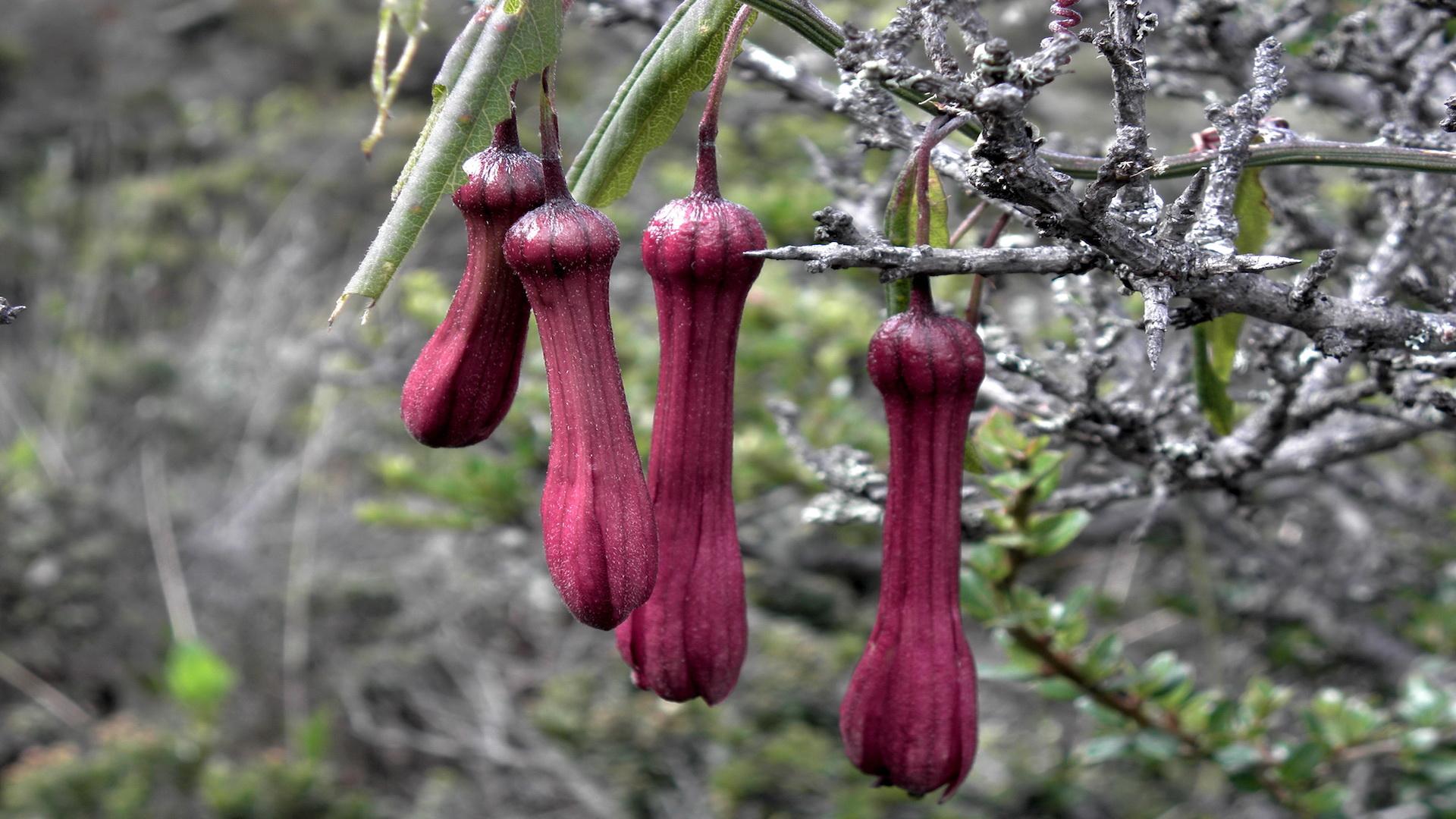 Passiflora bicuspidata © Jorge J Restrepo A.